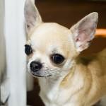 800px-Chihuahua_