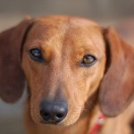 800px-Dachshund_smooth-coated_Dachshund