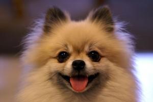 800px-Smiling_Tan_Pomerarnian