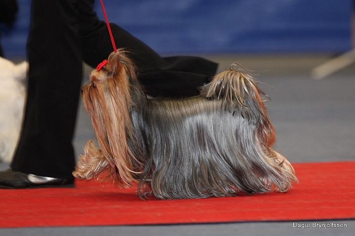 800px-Yorkshire_Terrier_at_show
