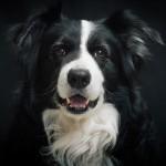 ボーダー・コリーも人気の犬種