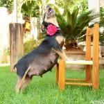 pregnantdog201603230509