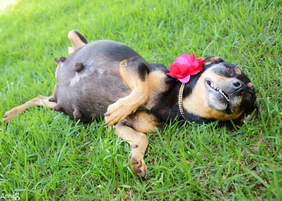 pregnantdog201603230512