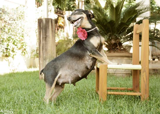 pregnantdog201603230514