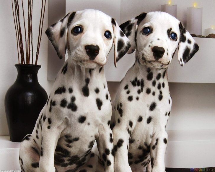 Couple-Cute-Dalmatian-Puppies-Pictures
