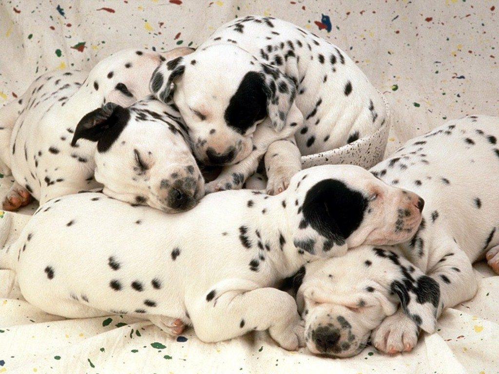 Cute-Dalmatian-Puppies-Sleeping-Together